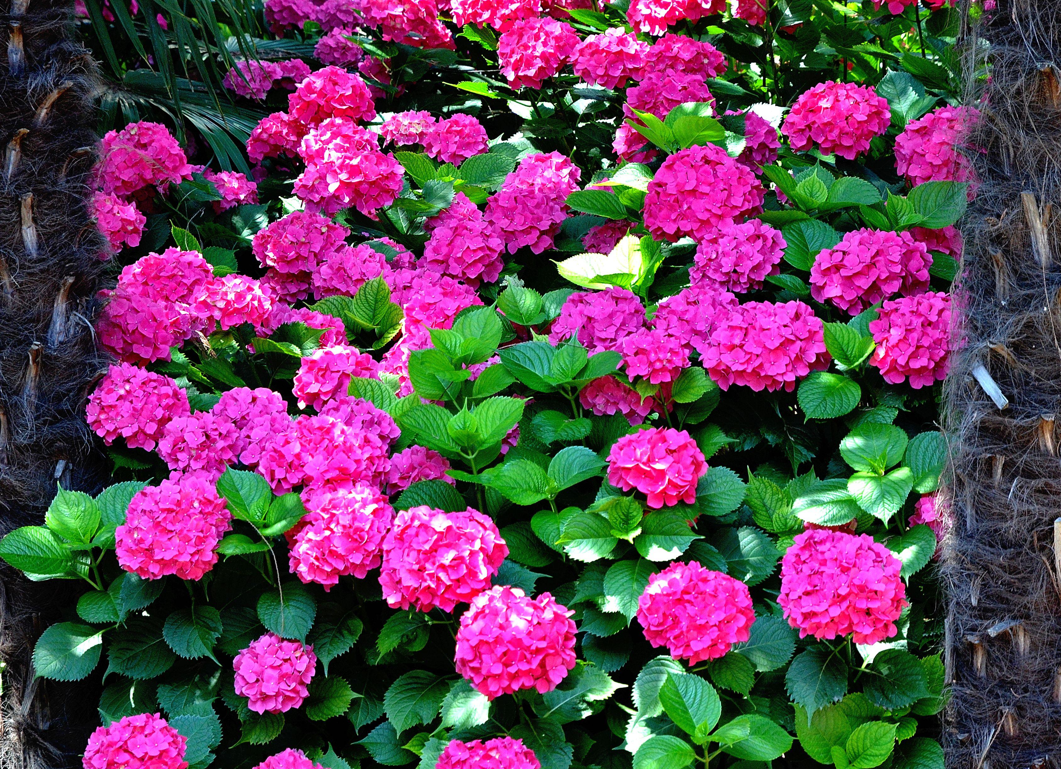 Fioritura Ortensie Azzurre : Ortensie in fioritura sprea fotografia