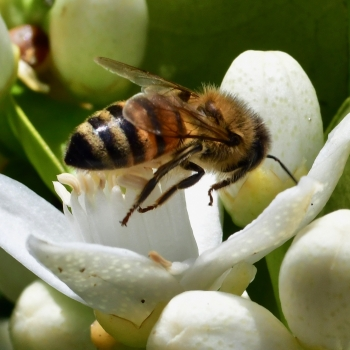 Bee on orange blossom