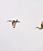 Ibis in volo