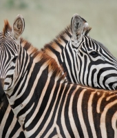 Looking at Zebras