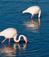 One flamingo, two flamingo