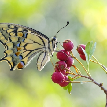 Papilio machaon Linnaeus, 1758