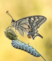 Papilio Machaon Plus