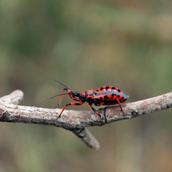 Rhynocoris iracundus (cimice assassina)