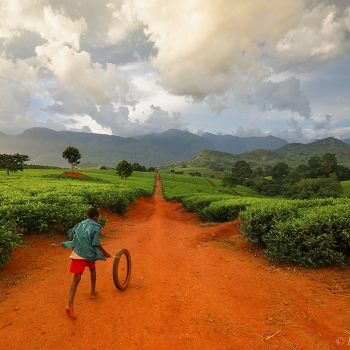 Tea farm of Malawi