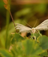 the white plume moths